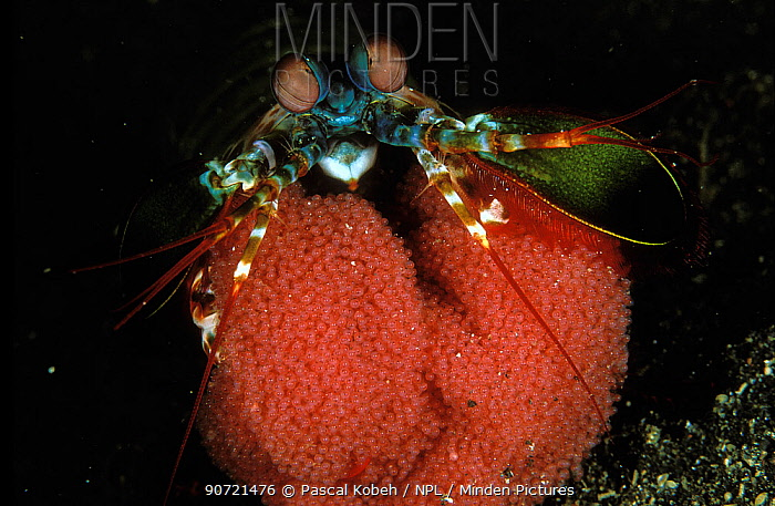 Mantis shrimp (Odontodactylus scyllarus) holding its eggs, Indonesia, Sulawesi Sea.