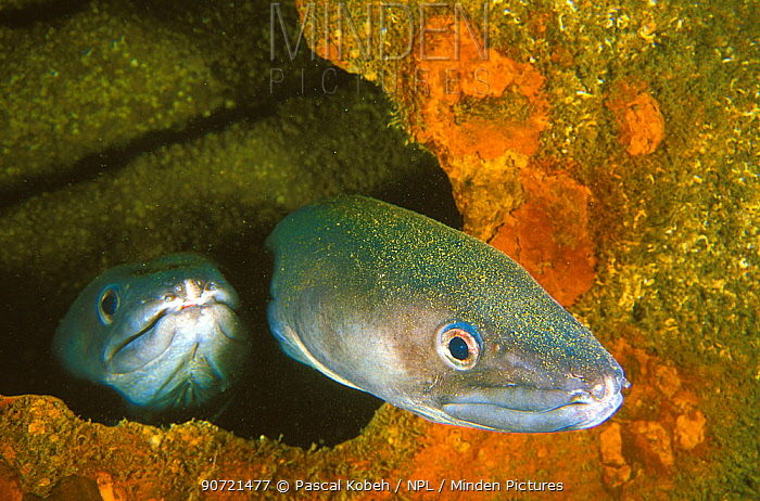 Two conger eels (Conger conger) hiding in a hole of a wreck. Vendee, France. Atlantic Ocean.