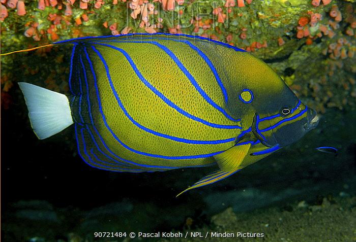 Ring angelfish (Pomacanthus annularis) Sri Lanka. Indian Ocean.