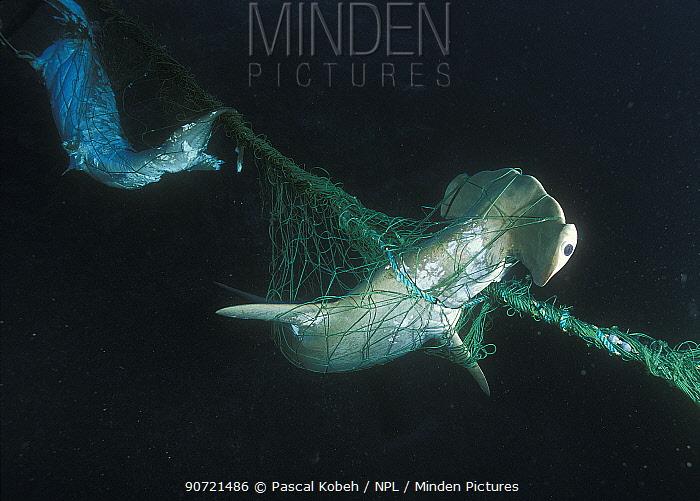 Scalloped hammerhead (Sphyrna lewini) and a Silky shark (Carcharhinus falciformis) in a net. Malpelo Sanctuary, Colombia, Pacific Ocean.