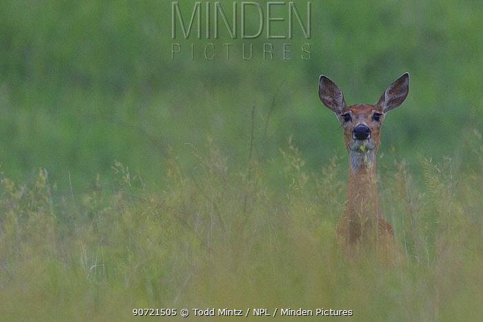 White-tailed deer (Odocoileus virginianus) looking alert, Grasslands National Park, Saskatchewan, Canada, July.