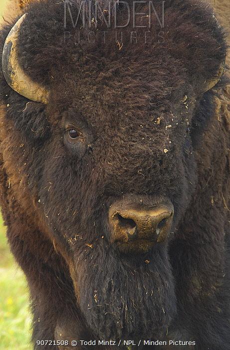 American bison (Bison bison) on the prairie, Grasslands National Park, Saskatchewan, Canada, July.