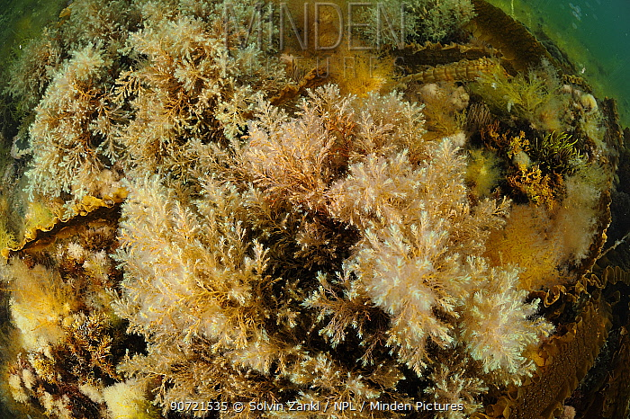Brown algae (Cystoseira tamariscifolia) , Purbeck Marine Wildlife Reserve, Kimmeridge Bay, Dorset, UK, July.