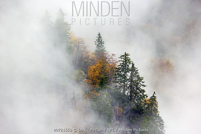 Pine trees in mist,  Ballons des Vosges Regional Natural Park, Vosges, France, October 2014.