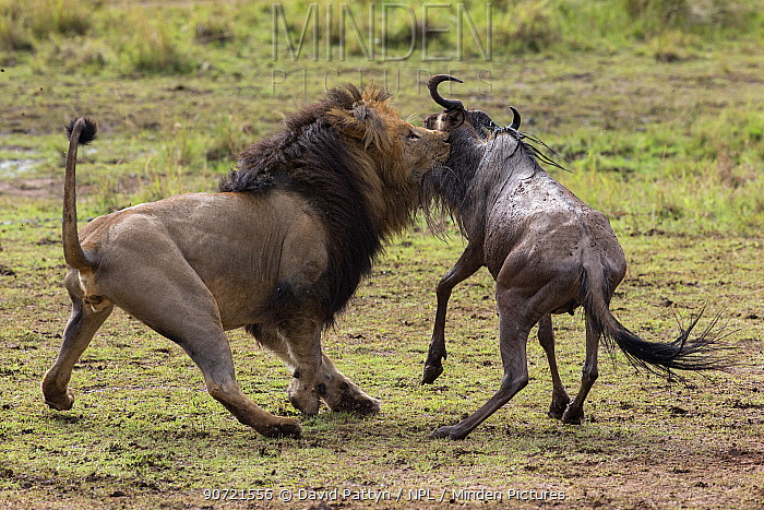 Male Lion (Panthera leo) killing an Eastern white-bearded wildebeest (Connochaetes taurinus) Masai Mara National Reserve, Kenya, August. Sequence 1 of 2