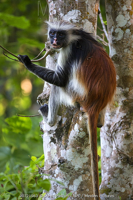 Zanzibar red colobus monkey (Procolobus kirkii) portrait, sitting in a tree, Jozani forest, Jozani Chwaka Bay NP, Zanzibar, Tanzania August