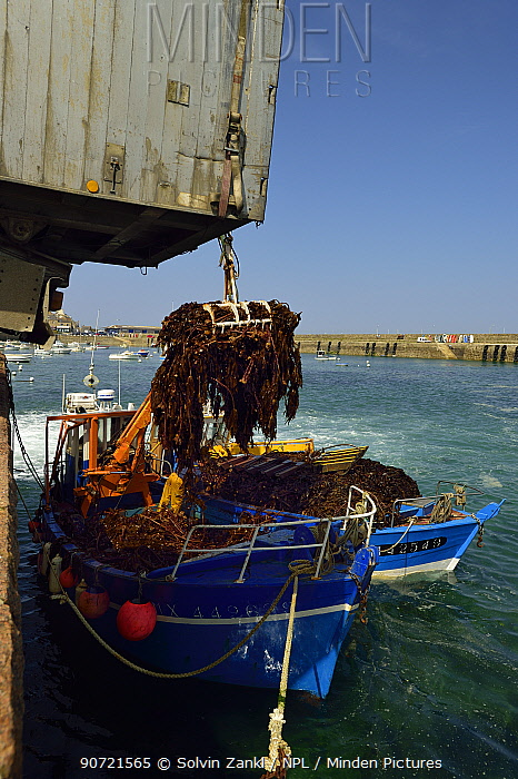 Boat  offloading Kelp (Laminaria hyperborea) Roscoff, France, April 2015. This species is used in cosmetics, chemical and biotechnological industries as well as food industry.