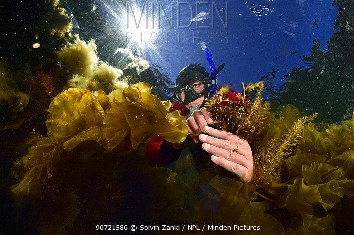 Inga Kjersti Sjotun, algae scientist studying invasive Japanese wireweed (Sargassum muticum)  Norway, May 2015.