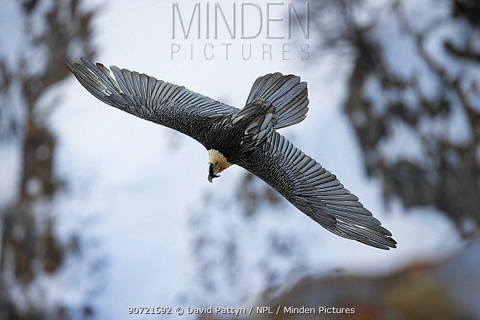 Lammergeier / Bearded vulture (Gypaetus barbatus) flying, Leukerbad, Valais, Switzerland. February.