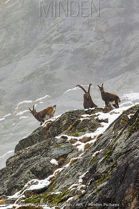 Alpine ibex (Capra ibex) group posing on a rocky mountain side on misty day,  Gran Paradiso National Park, Italy. November.