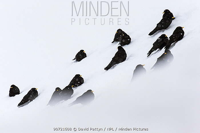 Alpine chough (Pyrrhocorax graculus) group resting in snow, Stelvio National Park, Sudtirol, Italy. March