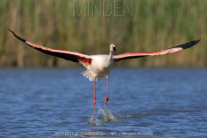 European flamingo (Phoenicopterus roseus) taking off, Camargue, France, May