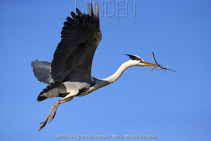 Grey heron (Ardea cinerea) in flight with nesting material Camargue, France, May