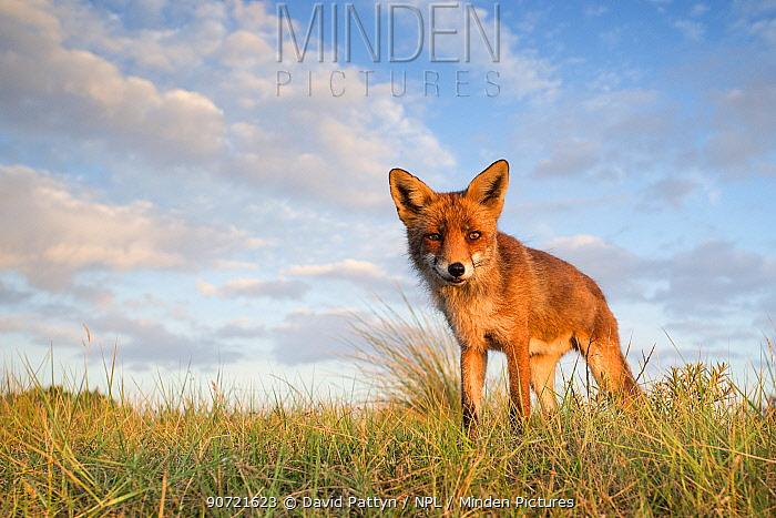 Red fox (Vulpes vulpes) in grassland, The Netherlands, July.