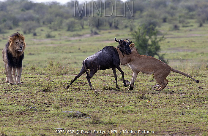Lion (Panthera leo) male and lioness hunting and killing an Eastern white-bearded wildebeest (Connochaetes taurinus) . Here the lioness is killing the wildebeest while the male is watching. Masai Mara National Reserve, Kenya August. Sequence 3 of 3