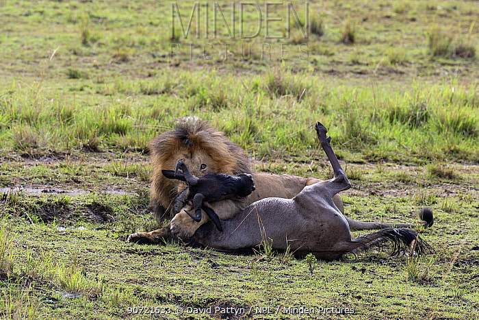 Male Lion (Panthera leo) killing an Eastern white-bearded wildebeest (Connochaetes taurinus) Masai Mara National Reserve, Kenya, August. Sequence 2 of 2.