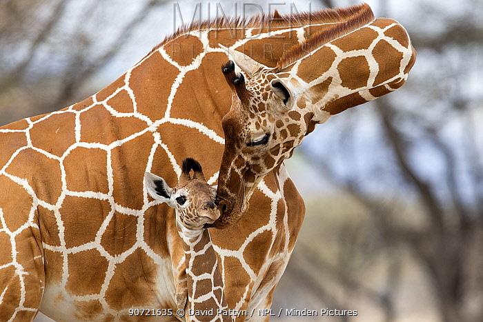 Reticulated giraffe (Giraffa camelopardalis reticulata) mother grooming baby, Samburu Game Reserve, Kenya, Africa, August.