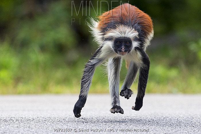 Zanzibar red colobus monkey (Procolobus kirkii) crossing the main road through the Reserve, Jozani forest,  Jozani Chwaka Bay NP, Zanzibar, Tanzania, August.