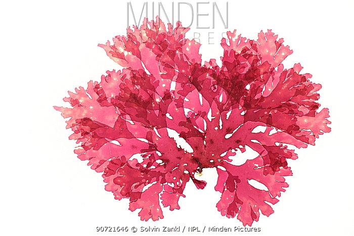 Red algae (Callophyllis laciniata) from  Ireland, Atlantic. Preserved specimen.