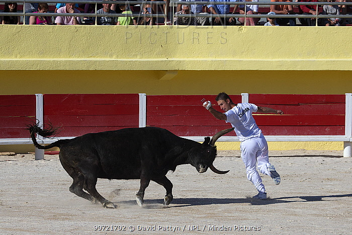 Course Camarguaise bullfight, a traditional bullfight which does not kill or harm the bulls. Young men try to snatch ropes from the horns of the bull. Arles, Camargue, France,  May.