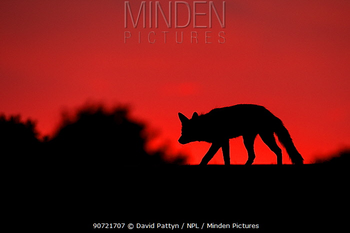 Red fox (Vulpes vulpes) silhouetted at dusk, after sunset, The Netherlands, July.