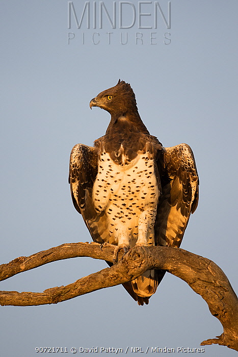 Martial eagle (Polemaetus bellicosus) perched on a branch. Masai Mara National Reserve, Kenya, Africa, August.