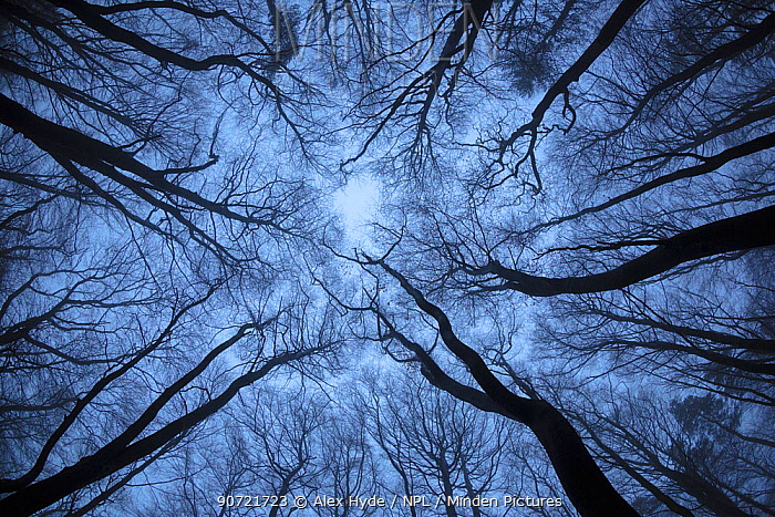View up to Beech (Fagus sylvatica) woodland canopy in winter. Derbyshire, UK. December.