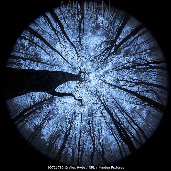 View up to Beech (Fagus sylvatica) woodland canopy in winter, photographed with a circular fisheye lens. Derbyshire, UK. December.