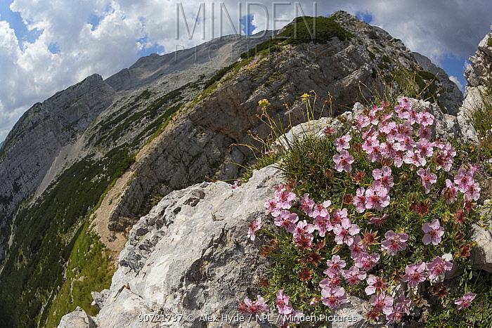 Pink cinquefoil (Potentilla nitida) growing on mountianside. Triglav National Park, Julain Alps, Slovenia. July 2015.