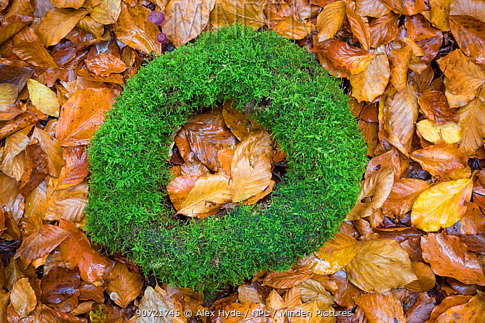 Moss-covered remains of a tree stump forming a natural ring on the forest floor. Plitvice Lakes National Park, Croatia. November.