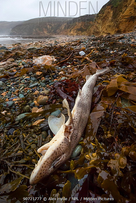 Dead Lesser Spotted Dogfish / Smallspotted Catshark (Scyliorhinus canicula) washed up on strand line following storms. Anglesey, Wales, UK. December.