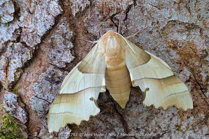 Oak hawkmoth (Marumba quercus). Captive, native to Europe and North Africa.