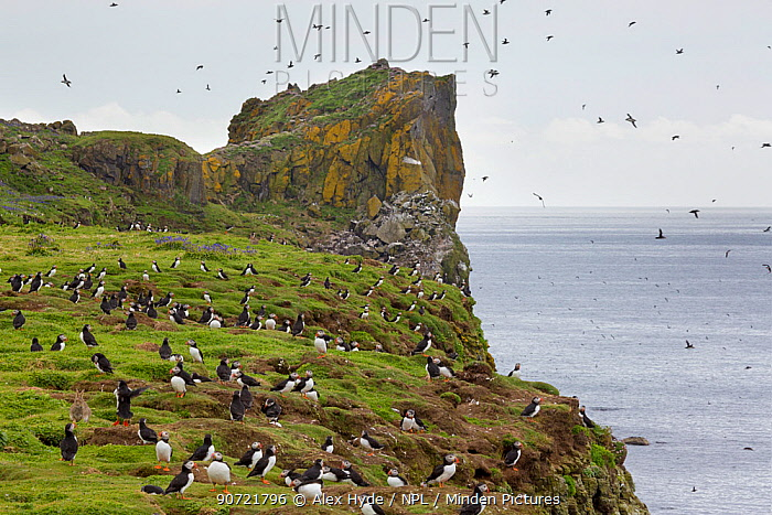 Atlantic puffins (Fratercula arctica) with sea cliffs in background. Isle of Lunga, Treshnish Isles, Scotland, June.