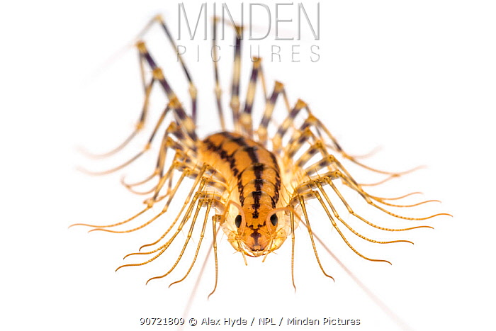 European House Centipede (Scutigera coleoptrata) found on the ceiling of a limestone cave. Photographed on a white background in mobile field studio. Plitvice Lakes National Park, Croatia. November.