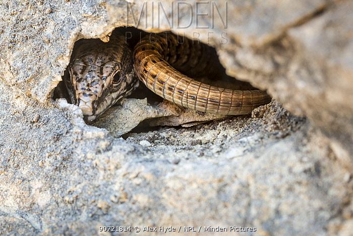 Common wall lizard (Podarcis muralis) in crevice of limestone cliff. Plitvice Lakes National Park, Croatia. November.