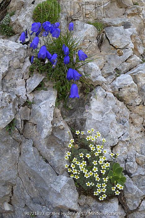 Fairy's thimble (Campanula cochleariifolia) with Saxifrage flowers (Saxifraga squarrosa) below,  on limestone cliff face. Triglav National Park, Julian Alps, Slovenia. July.