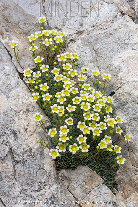 Saxifrage (Saxifraga squarrosa) growing in a crevice on a limestone cliff face. Triglav National Park, Julian Alps, Slovenia. July.