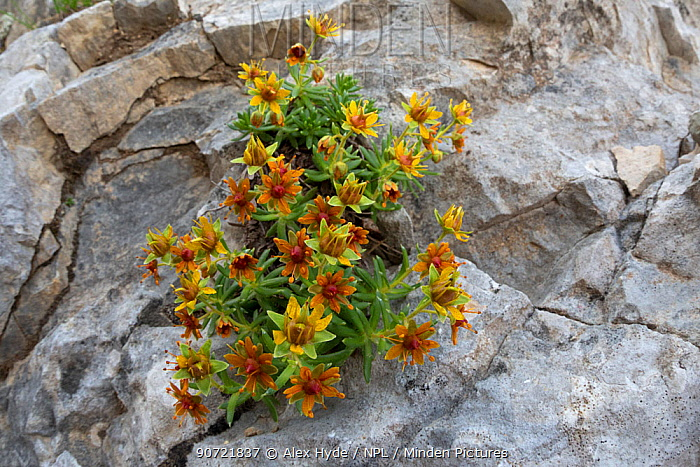 Yellow mountain saxifrage (Saxifraga aizoides) growing on limestone cliff. Triglav National Park, Julian Alps, 2000m, Slovenia. July 2015.