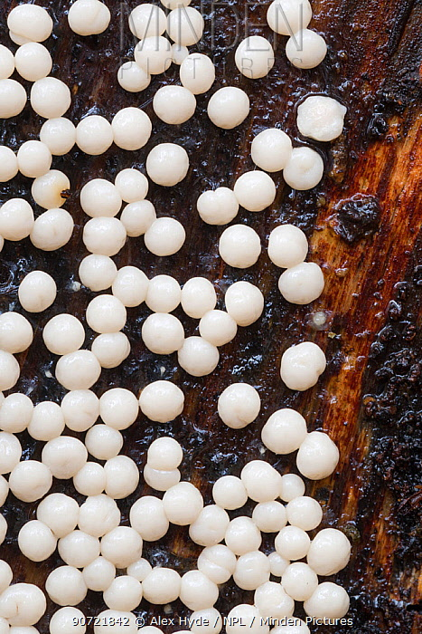 Sporangia of a white slime mould (Myxomycetes) growing on a decaying log, Plitvice Lakes National Park, Croatia. November.