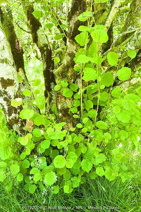 Hazel tree (Corylus avellana) spring leaves, Upper Glen Finglas, Glen Finglas, West Dumbartonshire, Scotland, July.