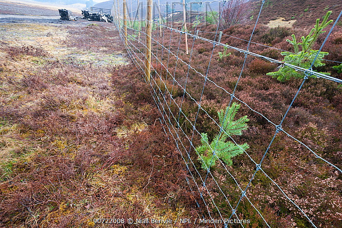 Plantation of Scots pine (Pinus sylvestris) saplings, surrounded by wire, Cairngorms  National Park, Scotland, March.
