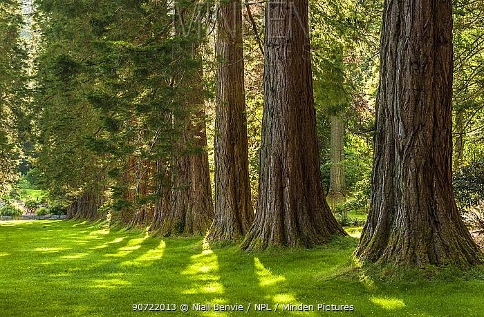 Giant sequoia trees (Sequoiadendron giganteum) part of the The Ben More Redwoods, Benmore Botanic Garden, Scotland, UK, July.