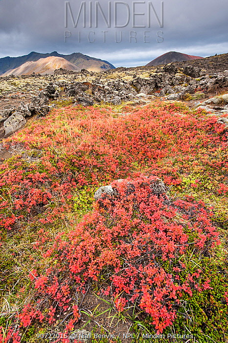 Bilberry (Vaccinum myrtillus) plants in tundra landscapes, Berserkjahraun, Iceland, September.