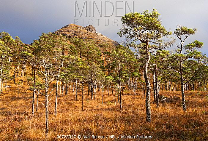 Scots pines (Pinus sylvestris) Torridon, Scotland, UK, November.