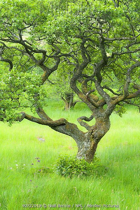Alder tree (Alnus glutinosa) in Upper Glen Finglas, West Dumbartonshire, Scotland, UK, July.