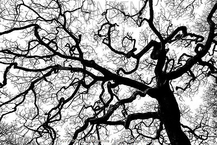 Sessile oak (Quercus petraea) tree silhouetted against white sky, Mull, Scotland, UK, January.