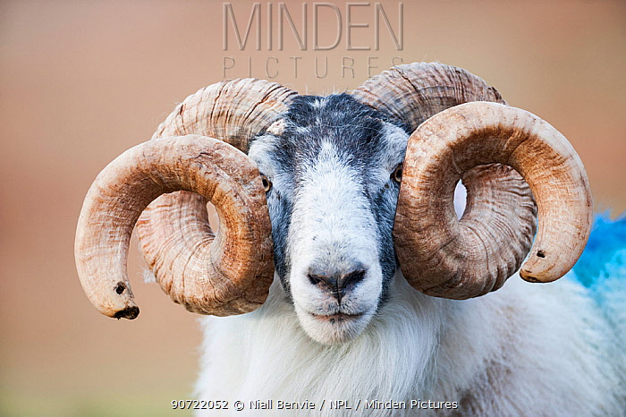 Black faced sheep ram with twisted horns, Mull, Scotland, UK. January.