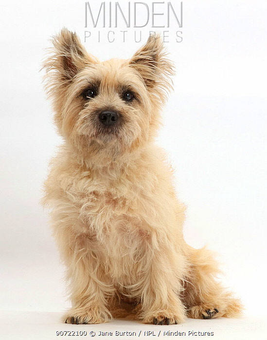Cairn Terrier dog sitting.