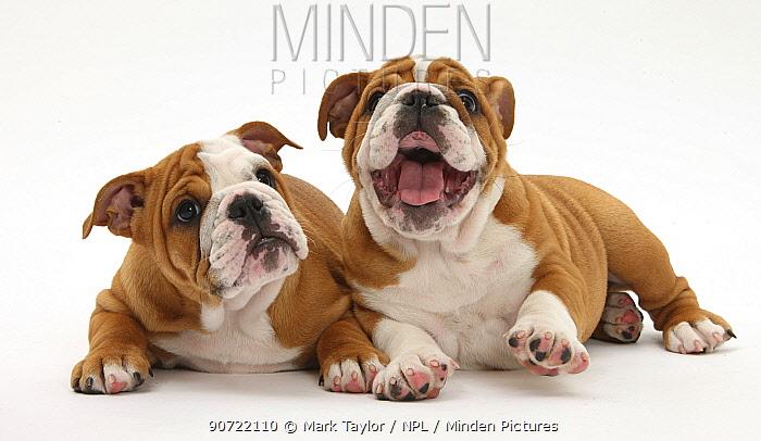 Two Bulldog puppies age 11 weeks.