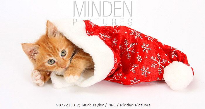 Ginger kitten age 8 weeks, in Father Christmas hat.